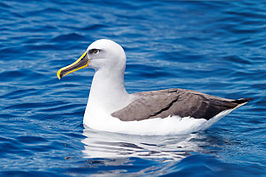 Albatross vliegt naar Portugal